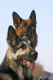 Un fronte dei due cani immagine stock