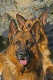 Un fronte dei due cani Immagine Stock Libera da Diritti