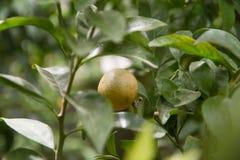Un fruit de Limequat Photos stock