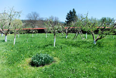 Un frutteto in primavera Immagine Stock