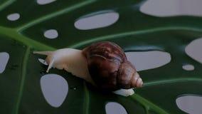Un fulica grande de Achatina del caracol se arrastra lentamente a lo largo de una hoja de la planta verde con los agujeros y bebe almacen de video