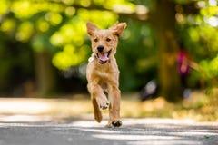 Un funcionamiento del perrito del golden retriever con el aleteo de los oídos fotos de archivo