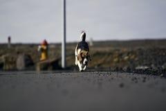 Un funcionamiento del perro del beagle Fotografía de archivo libre de regalías