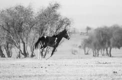 Un funcionamiento negro del caballo Fotos de archivo libres de regalías