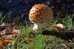 Un fungo arancio del pois fotografia stock