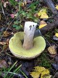 Un fungo bianco commestibile è tagliato con un coltello e si trova su un muschio Fotografie Stock