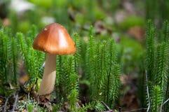 Un fungo del boletus Fotografia Stock
