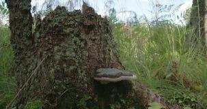 Un fungo del polypore ha trovato su un tronco di un albero video d archivio