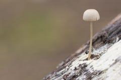 Un fungo minuscolo su un ceppo fotografie stock libere da diritti