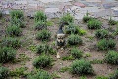 Un funzionamento del piccolo cane nel giardino della lavanda Fotografia Stock