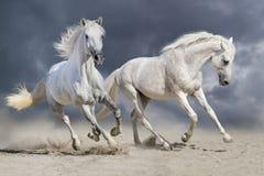 Un funzionamento di due cavalli bianchi fotografie stock libere da diritti