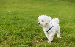 Un funzionamento sveglio e felice del cucciolo sull'erba verde di estate Fotografia Stock Libera da Diritti