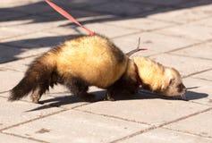 Un furet sur le trottoir en parc Photo stock