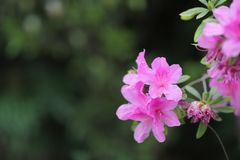 un género de planta de la familia de plantas del brezo fotografía de archivo