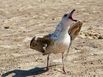 Un gabbiano arrabbiato sulla spiaggia sabbiosa fotografia stock