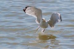 Un gabbiano caspico del gabbiano che decolla in volo dal mare Immagini Stock Libere da Diritti