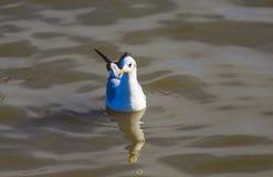 Un gabbiano che nuota liberamente nel mare Fotografia Stock Libera da Diritti
