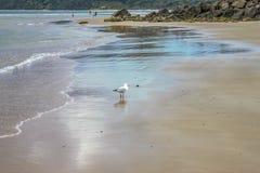 Un gabbiano di mare cammina lungo la spiaggia bagnata con l'uscita dei nuotatori oltre un outcropping delle rocce nella distanza  fotografie stock