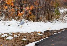 Un gabbiano fra i cespugli di inverno Fotografia Stock