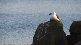 Un gabbiano pacifico riposa su una roccia stock footage