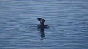 Un gabbiano sta cercando sul mare stock footage