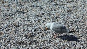 Un gabbiano sta e cammina sui ciottoli su una spiaggia dell'assicella stock footage