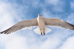 Un gabbiano sta volando sul cielo blu della nuvola Immagini Stock