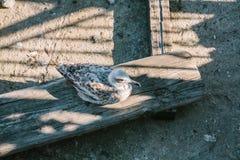 Un gabbiano su un bordo di legno Vista superiore di Costantinopoli, Turchia immagine stock libera da diritti