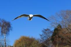Un gabbiano volante sopra gli alberi Fotografia Stock Libera da Diritti
