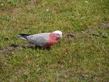 Un Galah rosado y gris en la hierba verde Imagen de archivo