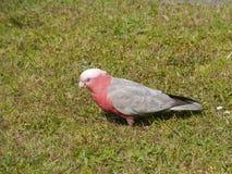 Un Galah rosado y gris en la hierba verde Fotografía de archivo libre de regalías