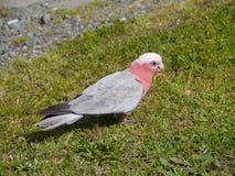Un Galah rosado y gris en la hierba verde Fotos de archivo