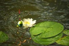 Un galleggiante accanto ad una ninfea Pesca di estate Fotografie Stock