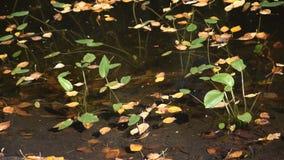 In un galleggiante delle foglie di giallo dello stagno Un chiaro giorno di autunno video d archivio