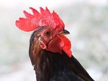 Un gallo Immagine Stock Libera da Diritti