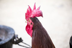 Un gallo africano immagine stock libera da diritti