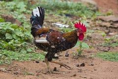 Un gallo africano Fotografie Stock