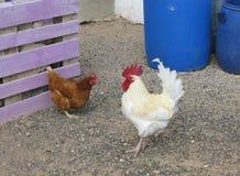Un gallo blanco y una gallina marrón en Fuerteventura Fotos de archivo