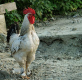 Un gallo cammina attraverso il pascolo di un'azienda agricola dell'Illinois Fotografia Stock