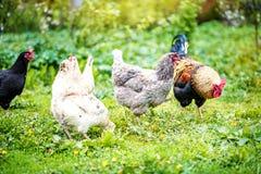 Un gallo che pasce nel prato con il pollo Uccello di concetto lontano Fotografia Stock Libera da Diritti