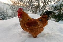 Un gallo che si leva in piedi nella neve Fotografia Stock Libera da Diritti