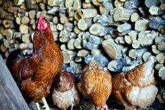 Un gallo con las gallinas fotografía de archivo