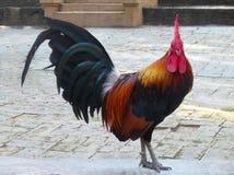 Un gallo del pollo que se coloca en la planta Imagenes de archivo