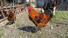 Un gallo detrás de una cerca de la granja Foto de archivo libre de regalías
