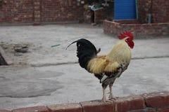 Un gallo enojado en la granja fotografía de archivo
