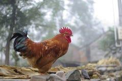 Un gallo grande hermoso Fotografía de archivo