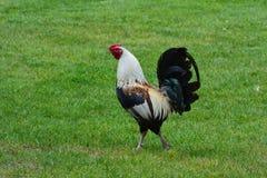 Un gallo que apuntala sus plumas Foto de archivo