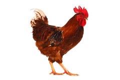 Un gallo in tensione sul bianco Immagine Stock