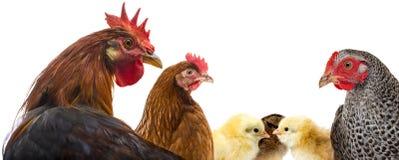 Un gallo y gallinas y pollos fotografía de archivo