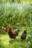 Un gallo y pollos Foto de archivo libre de regalías